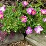 Pink Patio Rose
