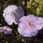 Lilac_ice