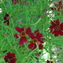 Coreopsis Limerock Ruby.