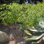 Euphorbia leucocephala - Snowflake Shrub or Tree (Euphorbia leucocephala)