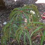 Begonia luxurians - Palm Leaf Begonia (Begonia luxurians - Palm Leaf Begonia)