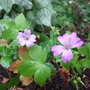 Geranium_nodosum_svelte_lilac_
