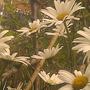 madges daisys