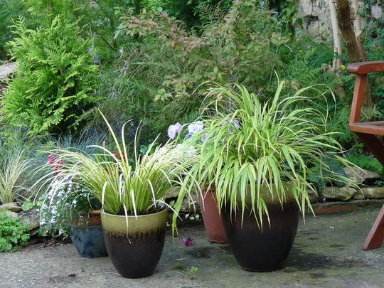 New Grasses (Hakonechloa macra (Hakonechloa))