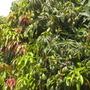 Mangifera indica - Mango Fruit (Mangifera indica - Mango tree)