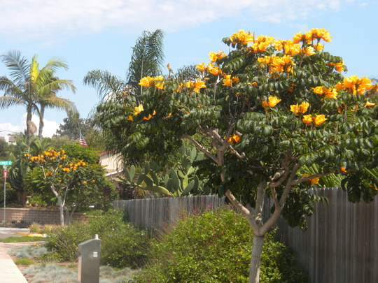 Spathodea campanulata 'aurea' - Golden-Yellow African Tulip Tree (Spathodea campanulata 'aurea' - Golden-Yellow African Tulip Tree)