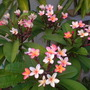 Plumeria rubra 'California Sunset'  - California Sunset Plumeria (Plumeria rubra 'California Sunset'  - California Sunset Plumeria)