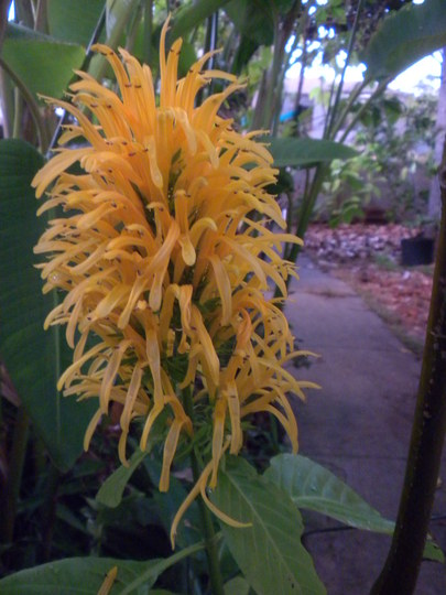 Justicia aurea -  Yellow Jacobinia (Justicia aurea -  Yellow Jacobinia)