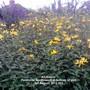 Allotment_perennial_sunflowers_at_bottom_of_plot_01_08_2012_001
