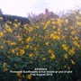 Allotment_perennial_sunflowers_in_full_bloom_at_end_of_plot_21_08_2012