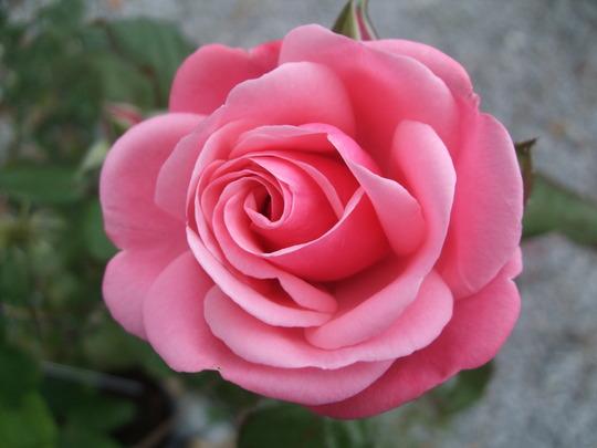 Rosa 'Pink Perpetue' (Rosa)