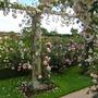 David Austin Rose garden June 2012