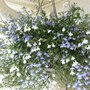 Lobelia, all colours