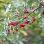 Elaeagnus umbellata aka Autumn Olive. (Elaeagnus umbellata)