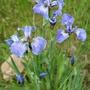 Dwarf Iris Setosa (Iris setosa (Beachhead Iris))