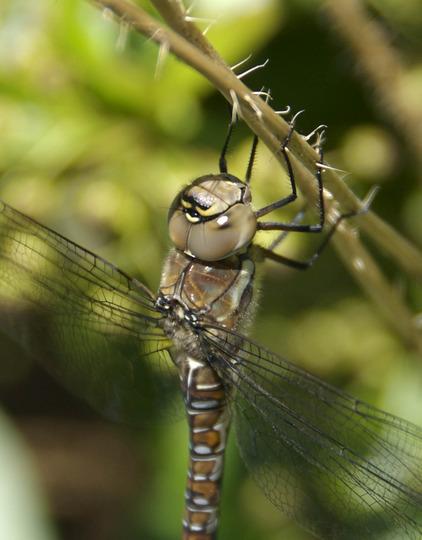 Dragonfly (Migrant Hawker (Aeshna mixta))