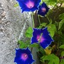 Japanese blue picotee morning glory (Ipomea Nil blue picotee)