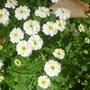 Matricaria parthenium or FeverFew  (Matricaria parthenium)