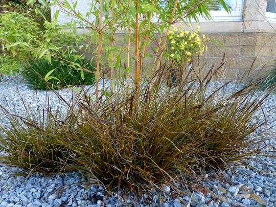 Uncinia Rubra under a bamboo. (Uncinia Rubra)
