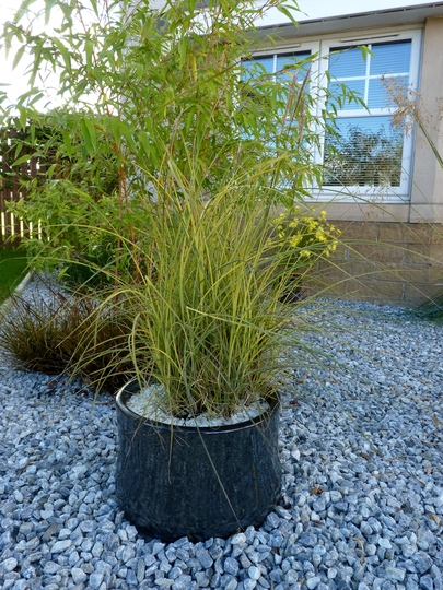Miscanthus Sinensis 'Morning Light' (Miscanthus sinensis (Miscanthus))
