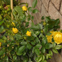 My yellow patio Rose for Katarina (Rosa 'Golden Wishes')
