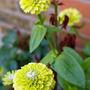 """Zinnia """"Queen Lime"""" (Zinnia elegans (Zinnia))"""