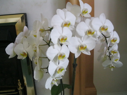 Phalenopsis Orchid..