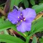 Tradescantia virginiana (Spiderwort)