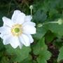 Anemone x hybrida 'Whirlwind' - 2012 (Anemone x hybrida)