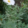 Romneya coulteri - 2012 (Romneya coulteri)