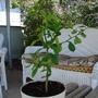 My baby grapefruit tree.
