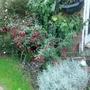 Fuchsia Magellanica 09.12 (Fuchsia magellanica)