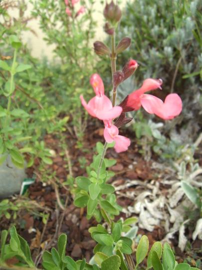 Salvia La Siesta (Salvia x jamensis  'La Siesta')