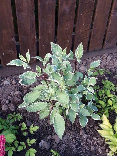 Cornus alba 'Elegantissima' (Cornus)