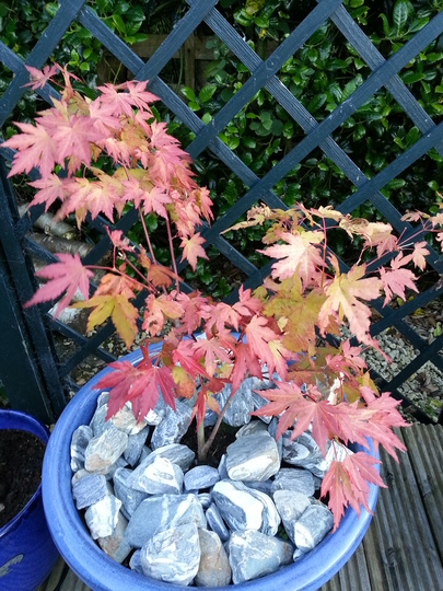 Acer 'Orange Dream' - autumn is coming! (Acer 'Orange Dream')