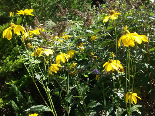 Rudbeckia nitida (Shiny Coneflower) only about 7 ft this year as I moved it last autumn. (Rudbeckia nitida (Shiny Coneflower))