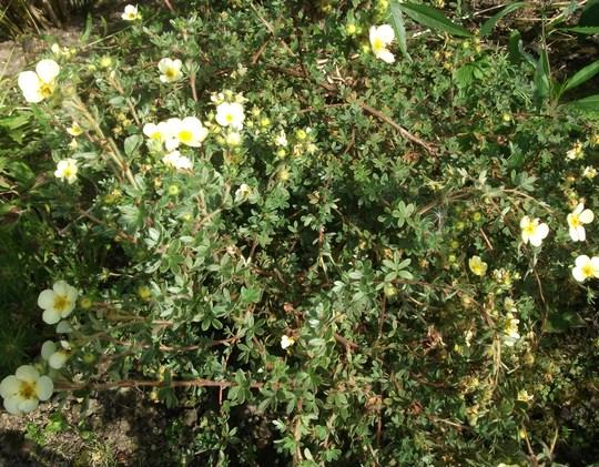 Potentillia fruticosa 'Primrose beauty'  new last year. (Potentilla fruticosa 'primrose beauty')