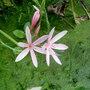 Kaffir_lily_pink