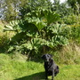 Bonnie Posing With Gunnera :-)
