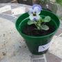 Viola promo mixed brave little flower its no bigger than my thumb nail (Viola promo mixed)