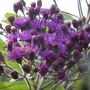 Vernonia Gigantea(tall ironweed) (vernonia)