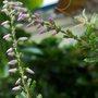 heather flower 120903 1