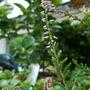 heather flower 120903 2