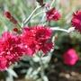 Funky Dianthus Blossom (Dianthus gratianopolitanus (Cheddar Pink))