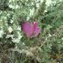 Colchicum_bivonae_and_wild_origano_plant