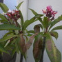 My Sun-burned Plumeria rubra 'Tricolor'  (My Sun-burned Plumeria rubra 'Tricolor')