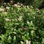 Viburnum Tinus  flowering away already (Viburnum tinus (Laurustinus))