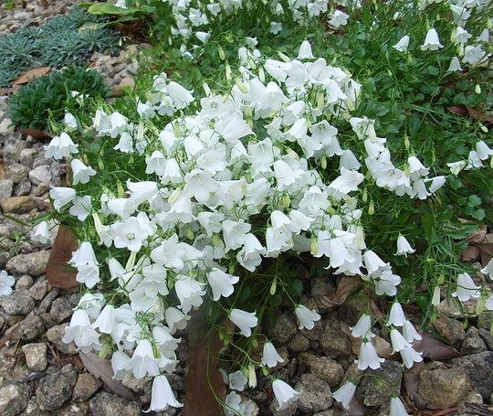 Campanula cochleariifolia 'White Baby' (Campanula cochleariifolia 'White Baby')