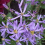 Aster sedifolius (Aster sedifolius)
