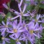 Aster sedifolius (Aster sedifolius)